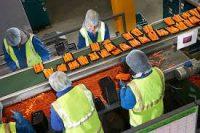 Dania praca jako pracownik produkcji warzyw przy sortowaniu 2019