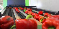 Od zaraz Dania praca z j. angielskim jako pracownik produkcji warzyw – kontroler jakości
