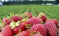 Sezonowa praca Niemcy zbiory truskawek i szparagów Bawaria bez języka 2019