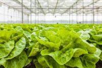 Bez znajomości języka oferta sezonowej pracy w Holandii zbiory sałaty od zaraz Venray
