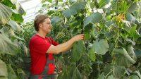Holandia praca sezonowa zbiór i pielęgnacja ogórków w szklarni, Venlo