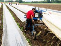 Oferta sezonowej pracy w Holandii zbiory szparagów bez języka od marca 2019 Eindhoven