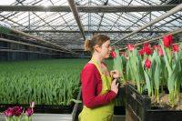 Od zaraz bez języka praca w Danii w ogrodnictwie przy tulipanach szklarnia z Jutlandii