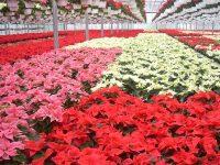 Ogrodnictwo od zaraz bez języka praca Holandia przy kwiatach szklarnia Westland