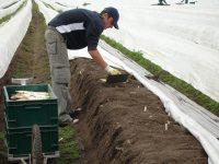 Sezonowa praca w Niemczech przy zbiorach szparagów od zaraz bez języka Beelitz