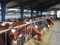 Rolnictwo od zaraz praca Norwegia na farmie mlecznej z językiem angielskim 2019 Tynset
