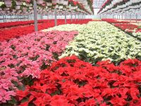 Sezonowa Anglia praca od zaraz ogrodnictwo w szklarni przy kwiatach Romsey