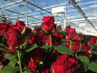 Od zaraz oferta pracy w Holandii przy kwiatach w ogrodnictwie bez języka 2019 Dronten