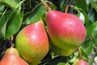 Zbiór jabłek i gruszek oferta sezonowej pracy w Holandii 2019 Goes