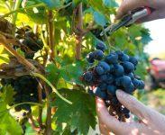 Francja praca sezonowa od zaraz zbiory winogron, przycinanie, podwiązywanie, Katalonia