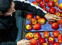 Holandia praca fizyczna od zaraz bez języka sortowanie i pakowanie owoców, Venlo 2019