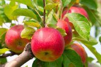 Sezonowa praca Niemczy od września 2019 przy zbiorach jabłek bez języka Buxtehude