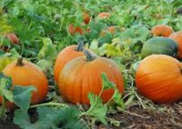Bez języka sezonowa praca Holandia przy zbiorach dyni od zaraz Dronten