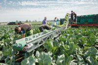 Francja praca sezonowa 2019 przy zbiorach warzyw sałaty, kapusty, pietruszki etc. Lyon