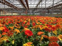 Bez języka sezonowa praca Niemcy w ogrodnictwie od zaraz przy kwiatach Straelen