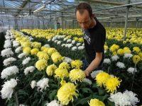 Bez języka od zaraz praca Holandia przy kwiatach w ogrodnictwie Horst 2019