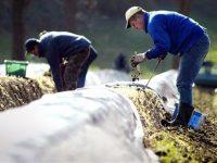 Sezonowa praca w Niemczech od kwietnia 2020 bez języka zbiory szparagów Beelitz