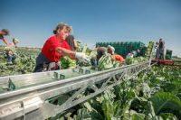 Dam sezonową pracę w Szwecji przy zbiorach warzyw od zaraz z j. angielskim Helsingborg