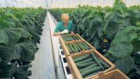 Oferta sezonowej pracy w Holandii przy zbiorach ogórków od zaraz Grubbenworst 2019