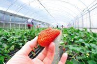 Bez języka Holandia praca sezonowa od zaraz przy zbiorach truskawek szklarniowych Venlo