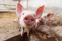 Bez języka praca w Szwecji w rolnictwie przy trzodzie chlewnej od lutego 2020 Helsingborg