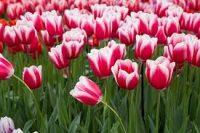 Od zaraz Szwecja praca ogrodnictwo przy kwiatach cebulkowych bez języka Landskrona 2020
