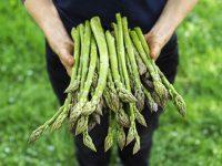 Zbiory szparagów – sezonowa praca w Anglii od kwietnia 2020 Ipswich UK