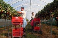 Bez znajomości języka oferta sezonowej pracy w Niemczech zbiory truskawek od kwietnia 2020 Bad Friedrichshall