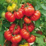 Holandia praca sezonowa przy zbiorach pomidorów od marca 2020 Someren, Asten