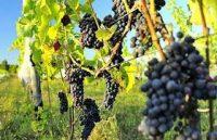 Oferta sezonowej pracy we Francji w winnicy Korsyka 2020