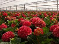 Ogrodnictwo Holandia praca od zaraz przy kwiatach bez znajomości języka Ter Aar 2020