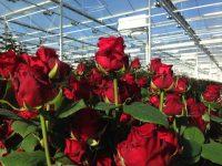 Bez języka sezonowa praca w Niemczech od zaraz ogrodnictwo przy kwiatach Straelen 2020