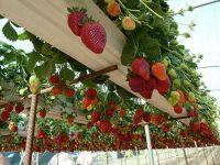 Bez języka oferta sezonowej pracy w Niemczech przy zbiorach truskawek 2020 od kwietnia Bad Friedrichshall