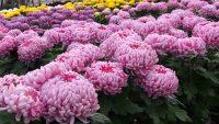 Od zaraz Holandia praca bez znajomości języka w szklarni przy kwiatach w Poeldijk 2020