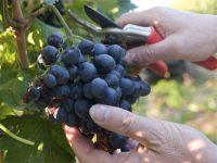 Winobranie 2020 – sezonowa praca we Francji przy zbiorach winogron, Burgundia