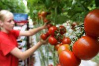 Od zaraz praca w Niemczech bez języka w ogrodnictwie przy pomidorach szklarniowych, Schkölen