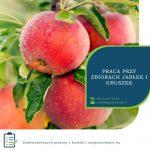 Zbiory jabłek i gruszek 2020 sezonowa praca w Anglii od zaraz do października w Maidstone UK