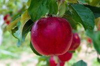 Sezonowa praca w Niemczech przy zbiorach jabłek od zaraz w sadzie z Jork 2020