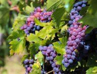 Dam sezonową pracę w Anglii od zaraz przy zbiorach winogron bez języka Shrewsbury