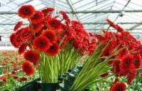Ogrodnictwo bez języka sezonowa praca w Niemczech przy kwiatach od zaraz Kempen