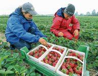 Oferta sezonowej pracy w Holandii od zaraz zbiory truskawek bez języka 2021 Horst