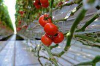 Od zaraz sezonowa praca Niemcy bez języka zbiory pomidorów 2021 Schkölen