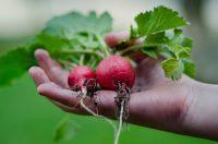 Bez znajomości języka zbiory warzyw oferta pracy w Niemczech od zaraz Ulm 2021