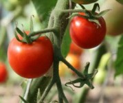 Holandia praca sezonowa dla kobiet w szklarni przy zbiorze pomidorów, na stałe