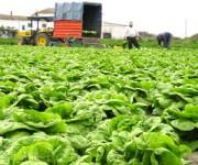 Norwegia praca w rolnictwie bez języka przy sadzeniu kapusty wiosna 2014 Rogaland