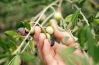 Włochy praca sezonowa bez języka przy zbiorze oliwek Livorno 2014