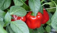 Od zaraz praca Norwegia przy zbiorach warzyw w szklarni bez języka Drammen