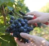 Sezonowa praca we Francji przy winobraniu 2014 (zbiory winogron) Bordeaux