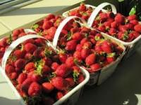 Praca w Anglii zbiory truskawek od zaraz dla par, grup na wakacje Guildford