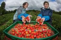 Oferta pracy w Norwegii przy zbiorach truskawek bez języka Porsgrunn